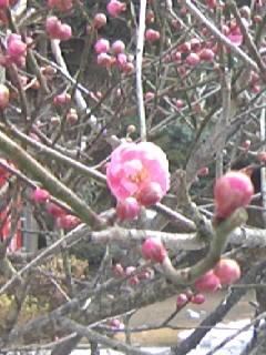 開花!梅香る季節